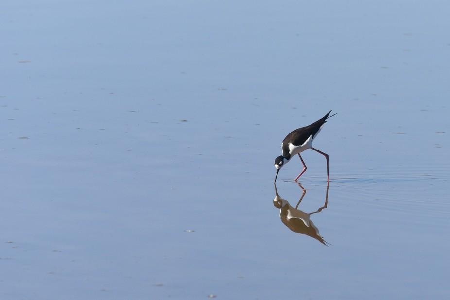 Who's the fairest of them all?  (Black-necked stilt, Arizona)