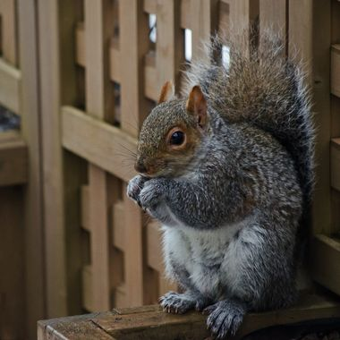 A grey squirrel eating seeds while leaning on a wooden fence.