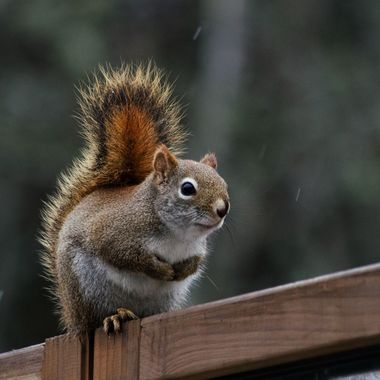 A red squirrel sitting on a wooden fence in the rain.