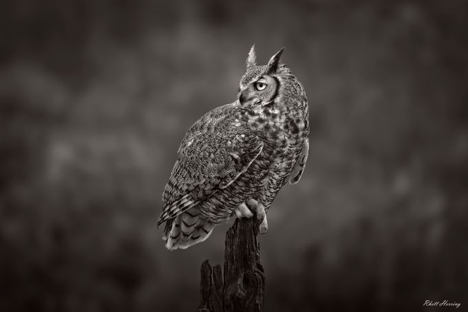 Great Horned Owl by RhettHerring - Beautiful Owls Photo Contest