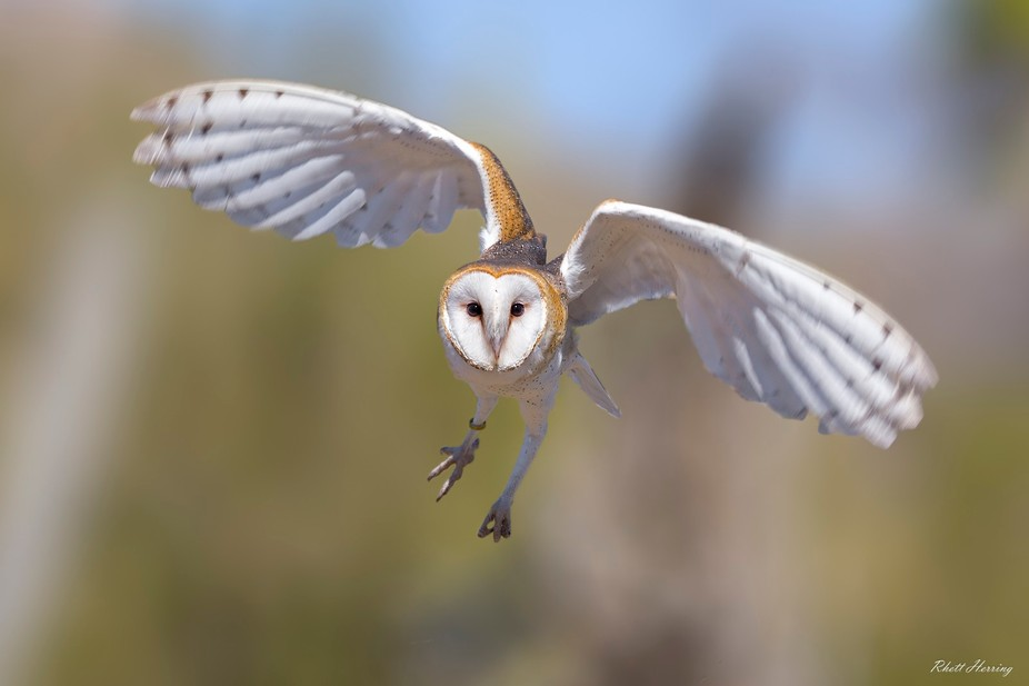 Common Barn Owl -- Tucson Arizona