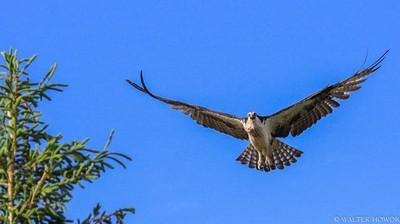 Osprey Warning