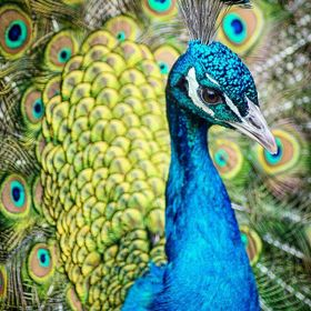 peacock colours