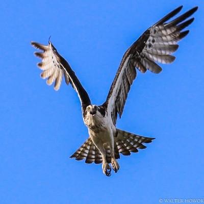 Osprey Intimidation