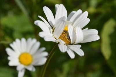 Beetle in a Daisy