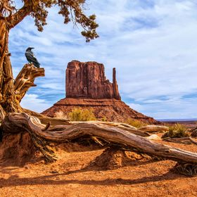 A raven appears to be gazing in appreciation at the West Mitten butte of Monument Valley in Arizona.  He posed for just a moment before flying off.