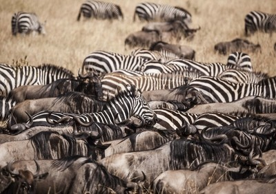 Zebras and wildebeest