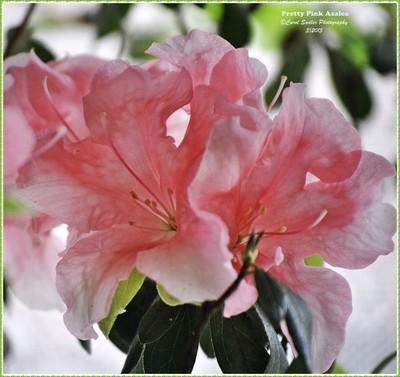 Pretty Pink Azalea