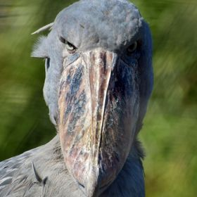 Locking eyes with a Shoebill Stork at Lowry Park Zoo, Florida