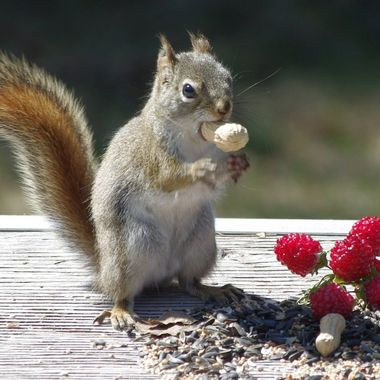 Canadian squirrel eating a peanut!