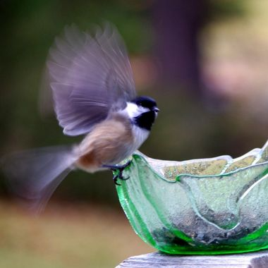Canadian chickadee