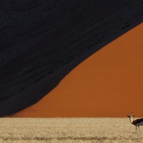 A Springbok in front of a dune, Namib desert, Namibia