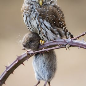 A Northern Pygmy Owl poses on a blackberry branch with a freshly caught vole.