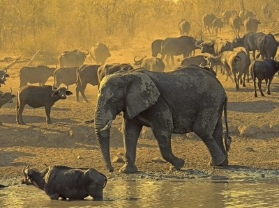 Elephant intruding on Water Buffalo in Kruger