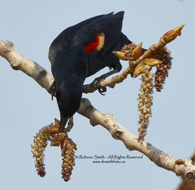 Male Red-winged Blackbird feeding -Agelaius phoeniceus - Photo by Robson Smith