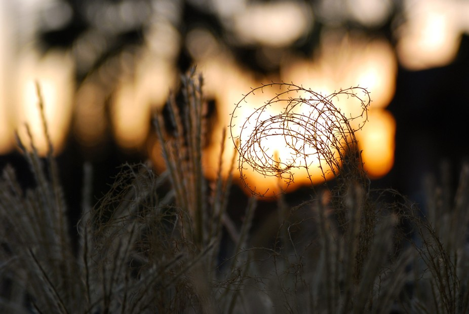Curly Grass in the Fading Sun