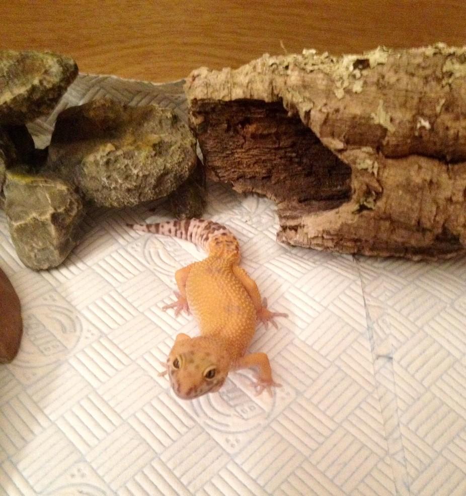 My tangerine leopard gecko