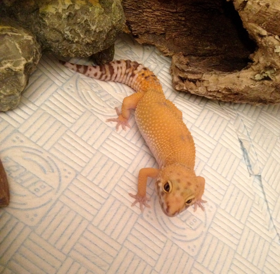 My tangerine Leopard Gecko, age about 6 months