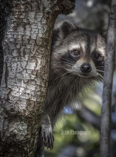 Racoon Peek A Boo