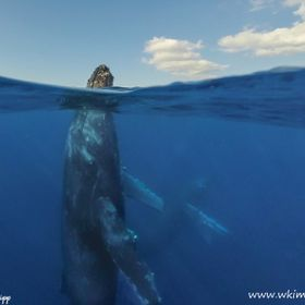 An Under / Over of a Humpback Whale from a zodiac off Lahiana in Maui   Bill Klipp Check out my online Photo Website at: http://www.wkimages.net ...