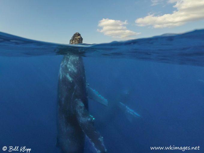 Humpback Whale Spy Hop, Maui Hawaii by billklipp - Big Mammals Photo Contest