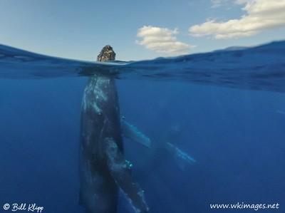 Humpback Whale Spy Hop, Maui Hawaii