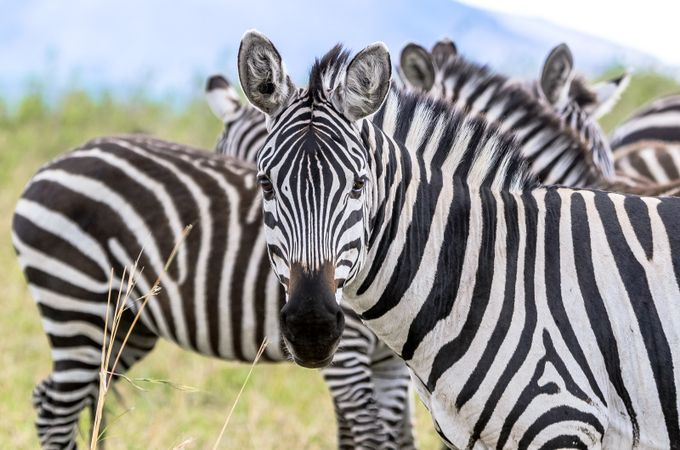 Zebra in the Serengeti by Pamelabole - Explore Africa Photo Contest