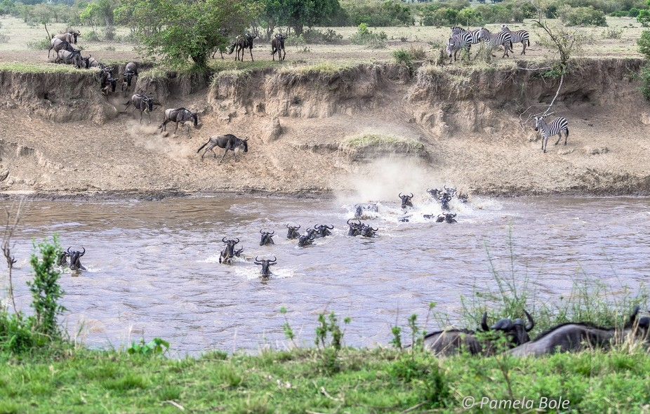 The Great Migration,  Wildebeest and Zebra crossing the Mara River (during October).  Northern Se...
