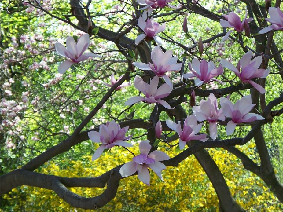 Highland Park - Magnolia Tree - Rochester NY - 5/5/13