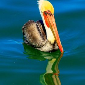 Pelican facing Right floating on ocean