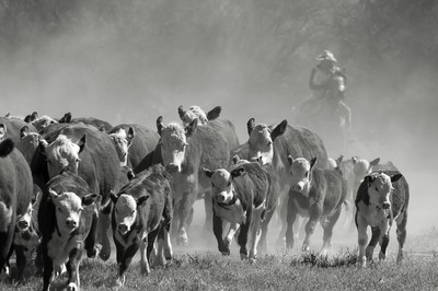 Bringing in the Herd