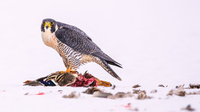 Peregrin Feeding by bminor - Animals In The Winter Photo Contest