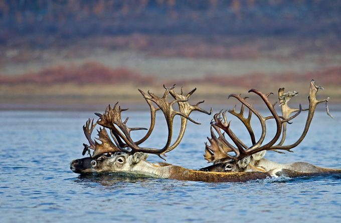 Reindeers in Olenyok River, Yakutia by alexanderdersu - The Emerging Talent Awards