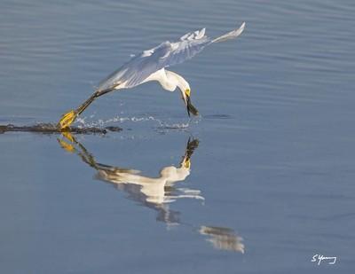 Snowy Egret Catching Breakfast; Chincoteague, VA