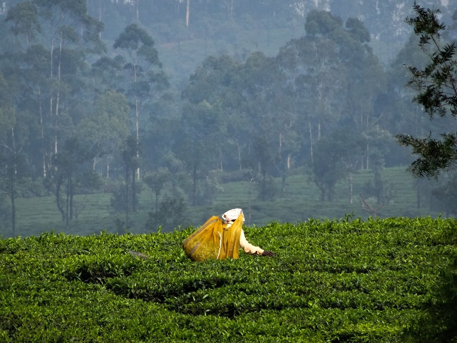 A tea picker in the vast tea plantations of Valparai in South India, working from dawn until dusk...