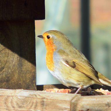 A robin visiting the bird table.
