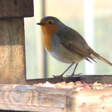 Another view of a robin visiting the bird table