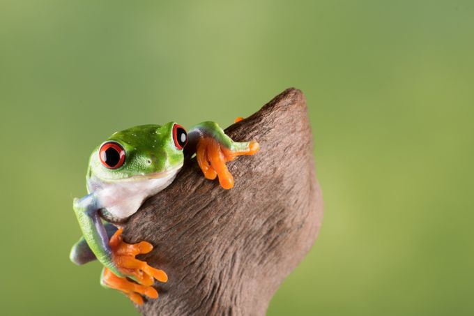 Red eye tree frog by andrewrundgren - Close Up Art Photo Contest