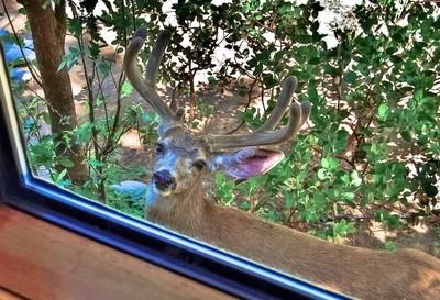 Deer Peeking through the Window