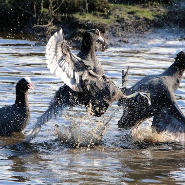 silly old Coots