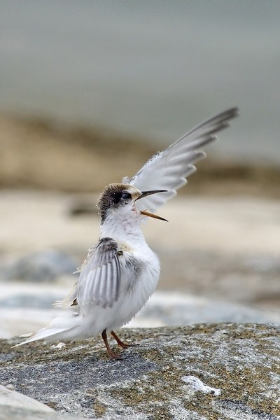Little Terns Chick