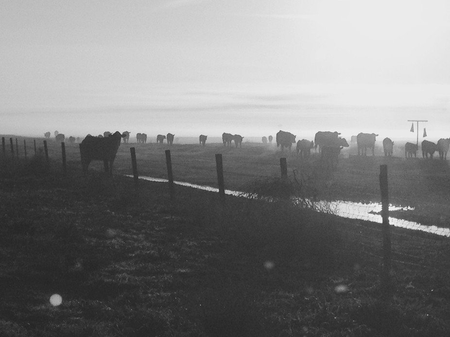 On a recent drive, the cows were coming out of the mist to eat... I stopped to take their photos ...