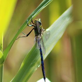 The angle of this image of a blue dragonfly makes it look almost like a little alien clinging to a leaf... its amazing what the angle will do!