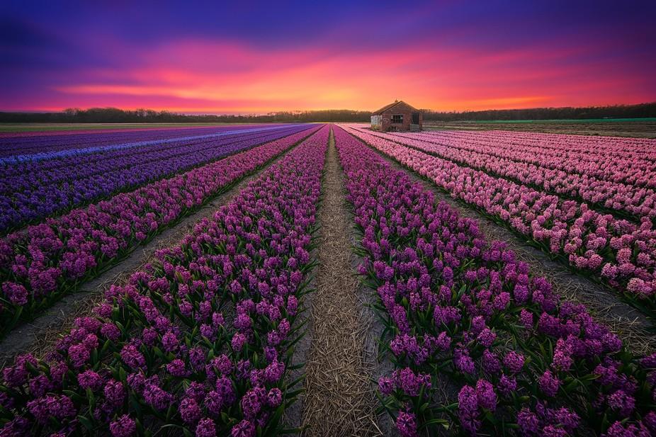 flower season in the netherlands!