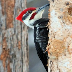 Pileated Woodpeckers are very elusive and constantly moving. I've been taking many photos this winter and these two are my favorite.
