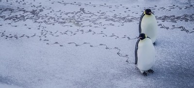 Penguins making tracks in the snow