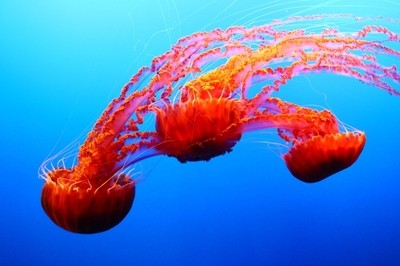 Monterey Bay Jellies