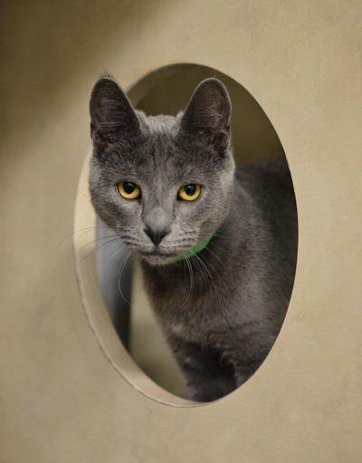 Serious Gray Cat