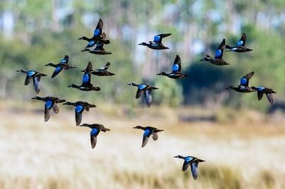 Flock of Blue-winged Teal