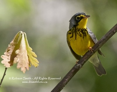 Male Canada Warbler perched on branch by Oak Leaves -Cardellina canadensis - Photo by Robson Smith